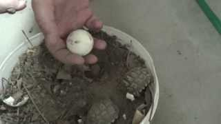 Nacimiento tortuga terrestre argentina