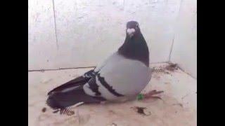 Disease pigeon paratyphus مرض البارا حمام الزاجل