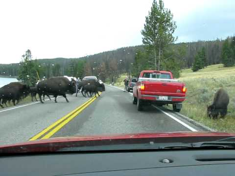 Bison Crossing Road in Yellowstone National Park