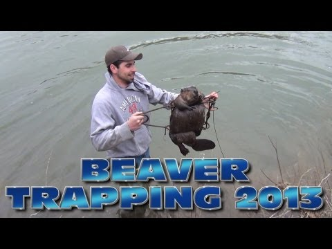 Beaver Trapping 2013