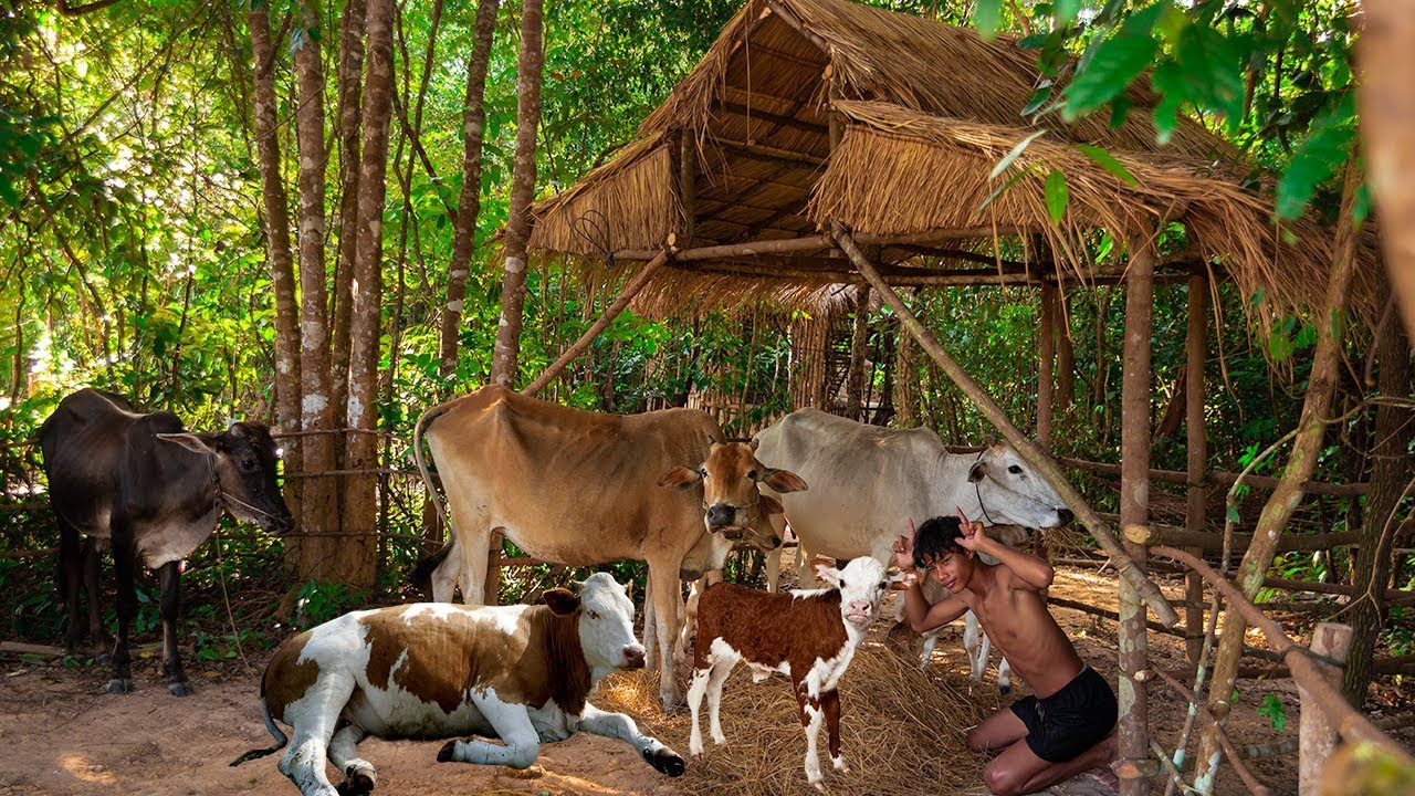 Build Hut for Baby Cow and their family