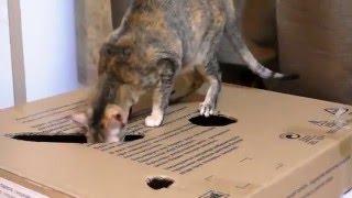 Один день из жизни ориентальной кошки КоКо (Oriental cat`s day)