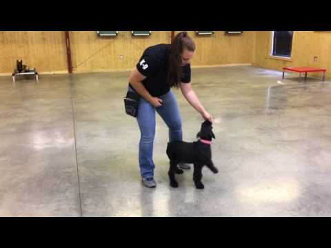 "Giant Schnauzer Female Puppy ""Kaya"" 15 Wks Early Training W/Protection Dog Sales"
