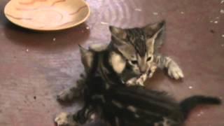 бенгальские котята .борьба за выживание