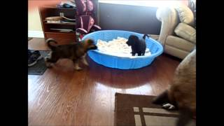 Adelheide Kennels German Shepherd Dog Puppies Guelph