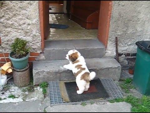 Mały bernardyn (Misiek) wchodzi po schodach - St Bernard