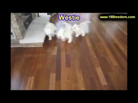 West Highland White Terrier, Westie, Puppies, Dogs, For Sale, In Charleston, West Virginia, WV