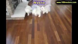 West Highland Terrier, Puppies, For, Sale, In, Charleston, West Virginia, Wv, Williamson, Culloden,