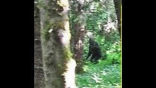 Bigfoot Spotted from Tree Stand between River OF No Return & Challis Idaho