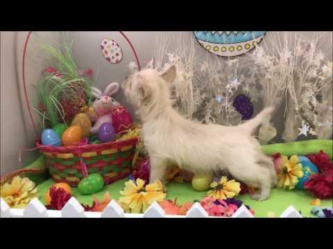 Female West Highland Terrier Puppy
