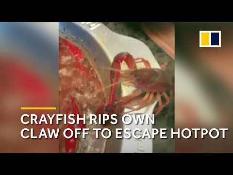 Crayfish Rips Own Claw Off To Escape China Hotpot