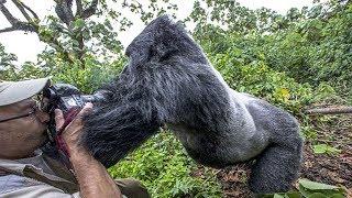 Aşırı Derece SİNİRLENMİŞ 10 Goril Videosu