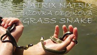 Swimming snake (Grass snake- užovka obojková- natrix natrix)