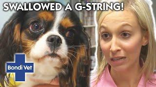 NAUGHTY DOG Has Swallowed Owner's Gstring! | Classic Clip | Bondi Vet