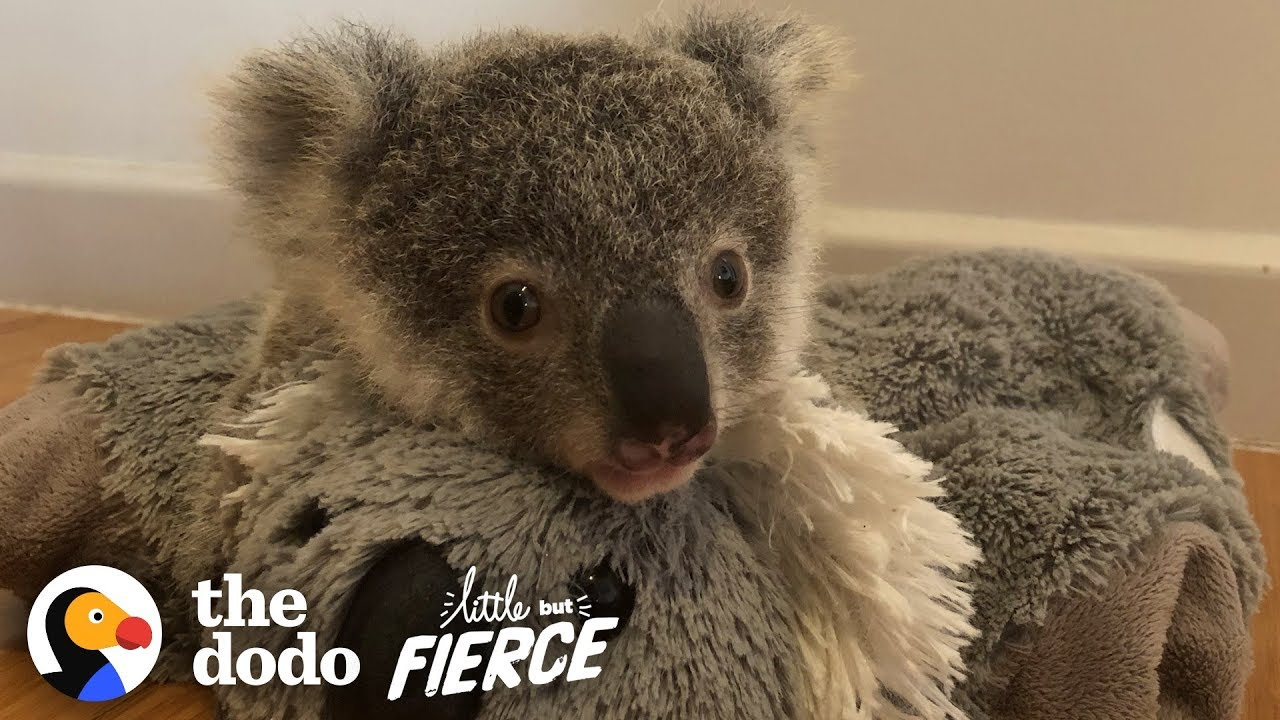 This Baby Koala Has To Learn To Climb Trees So He Can Be Released! | The Dodo Little But Fierce