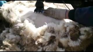 Машинка для стрижки овец Baoda f7(Стрижка овец электрической машинкой китайского производства Baoda F7. Купить машинку без предоплаты можно..., 2015-05-02T09:04:45.000Z)