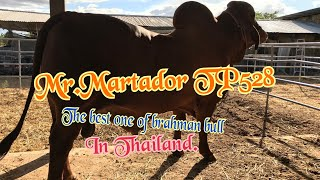 """History of the famous bull of the year """"Mr.Martador TP528"""""""