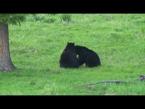 two black bears  playing Yellowstone 5/26/18