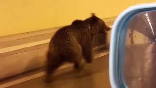В Осетии в Рокском тоннеле заметили медвежонка