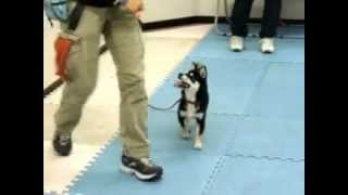 豆柴 葵と飼い主夫婦が通う、犬のしつけ方教室 5日目です。今日は、左...