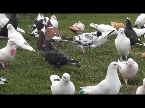 Почему голуби теряются в небе!?