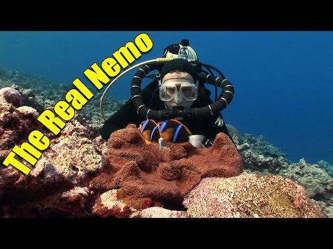 Anemonefish and Clownfish: The Real Nemo (HD) | JONATHAN BIRD'S BLUE WORLD