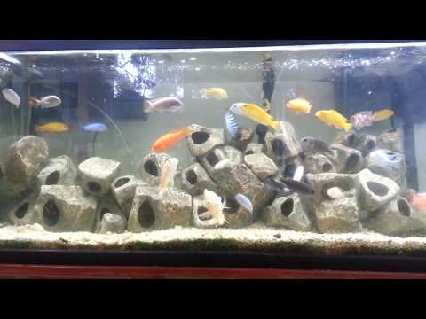 How To Care For African Cichlids And Oscars