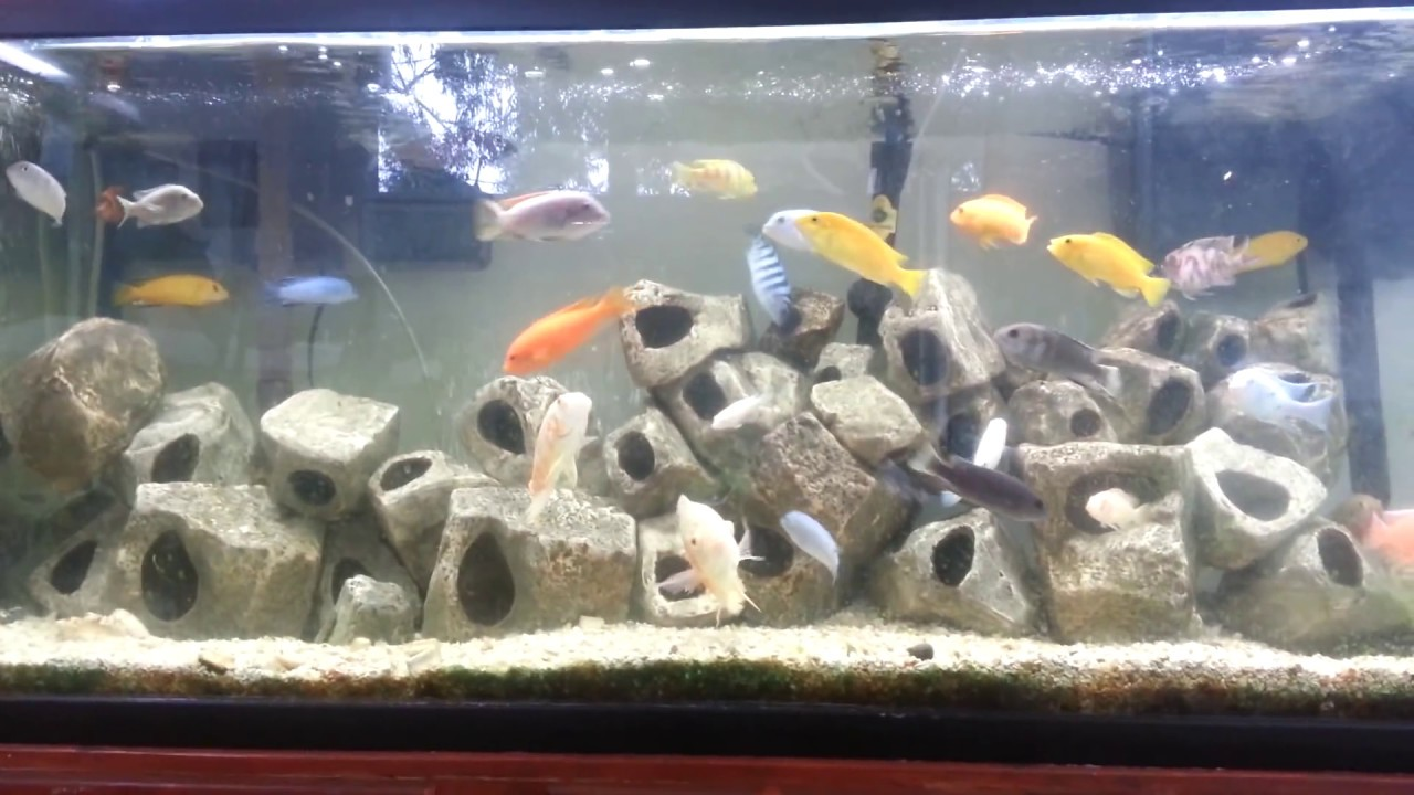 How To Care For African Cichlids And Oscars Youtube