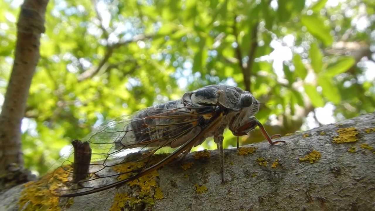 какой звук издают цикады