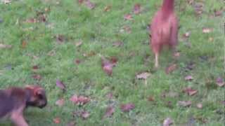 Alfie The 3 Month Old Border Terrier Chasing Chickens