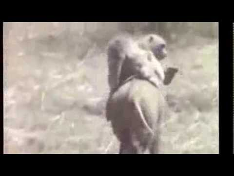 EPIC monkey riding a wild boar - Best chase ever