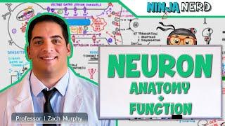 Neurology   Neuron Anatomy \u0026 Function