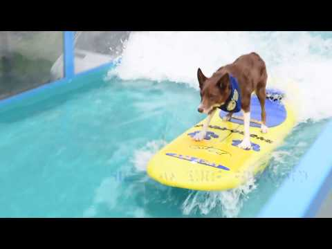 Surfing Cat and Dogs