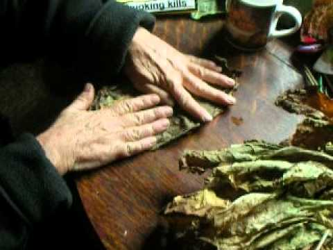 Growing golden virginia tobacco part 4 selecting ripe leaves for fermenting