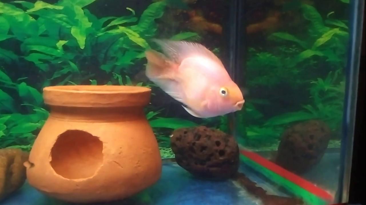 Parrot Fish & Arowana Feeding Live food very Aggressively - YouTube