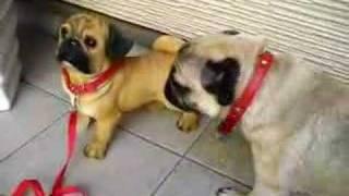 自分と同じ形のパグの置物を見て。 The ornament of pug which I am jus...