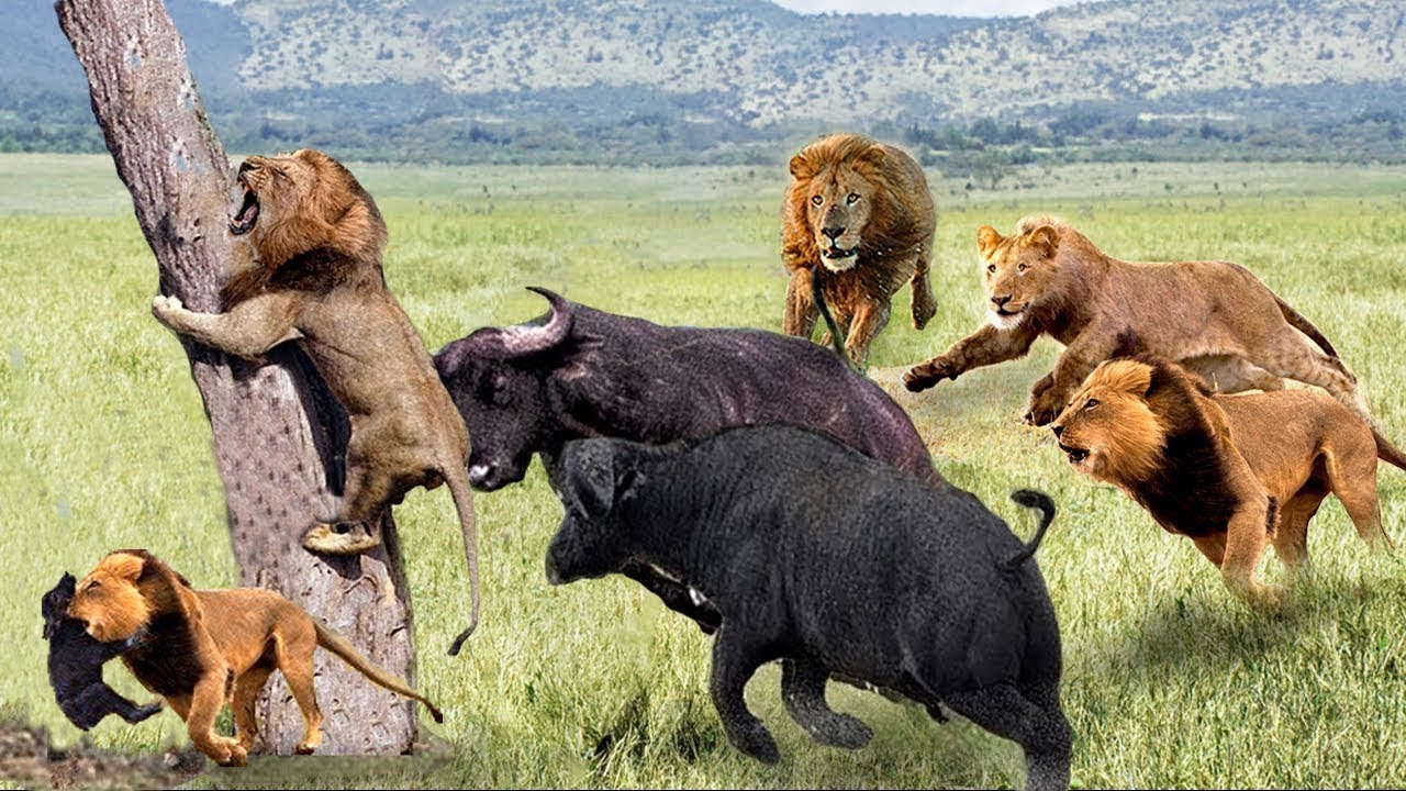 The mother buffalo bravely saved her son from lions, Crocodile ambushed herds of migratory buffaloes