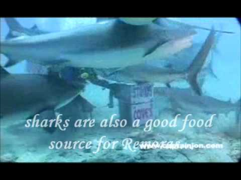Bond Between Sharks And Remoras 1