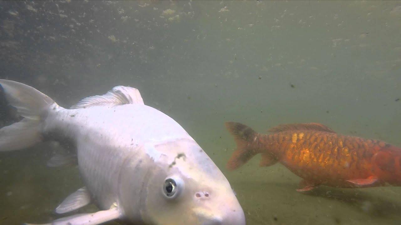 peces koi en cavancha iquique chile youtube