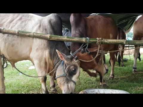 Cow fight HD 2016
