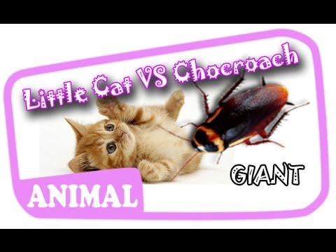 Funny Cat Versus Giant Cockroach
