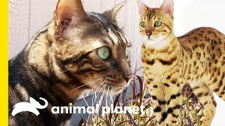 These Beautiful Bengal Cats Are Incredibly Intelligent | Cats 101