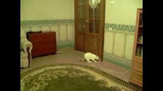 Кот ворует воздушные шары