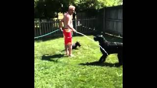 Giant Schnauzer And Scottish Terrier Playing With The Hose