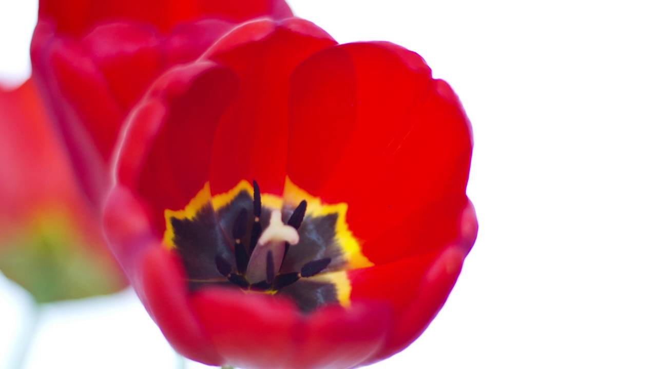 tulips and cut by sylvia plath Sylvia plath tulips by sylvia plath  the tulips are too red in the first place, they hurt me  flat, ridiculous, a cut-paper shadow between the eye of the.