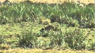 シマウマの首を噛んで留めをさしたンゴロンゴロのライオン。 お尻から食...