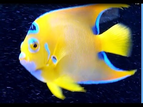 240 Gallons -- Wow, Adult Queen Angelfish With Purple Lips And Chin