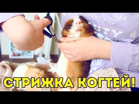 Как подстричь морской свинке когти видео