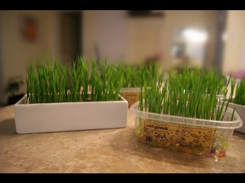 Vivipet Soil Free Cat Grass How To Grow Cat Grass Youtube