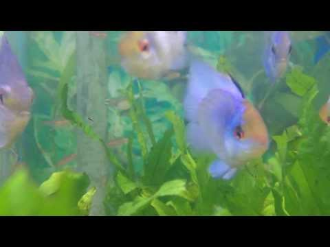 How To Care For Electric Blue Rams - Gerber's Tropical Fish